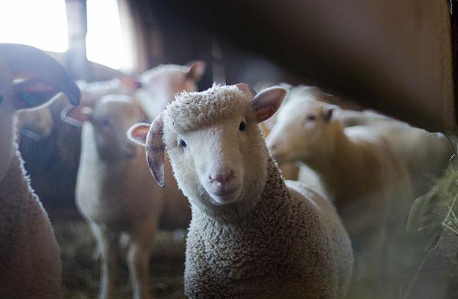 agriculture-animals-baby-blur